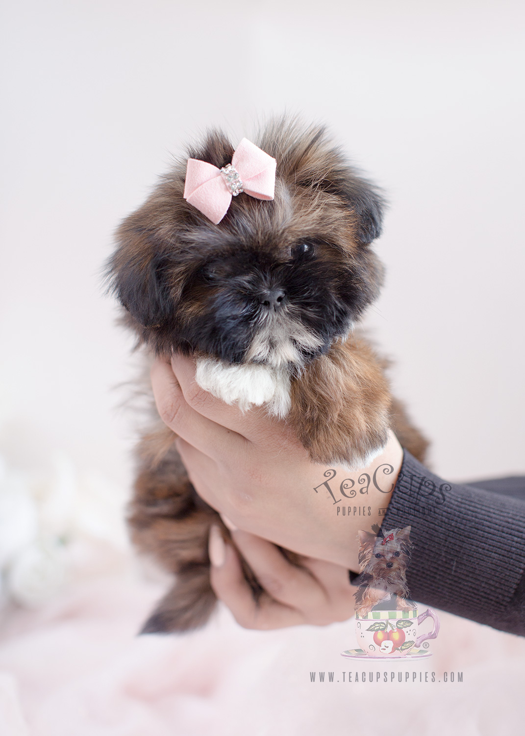 Beautiful Shih Tzu puppy for sale #038