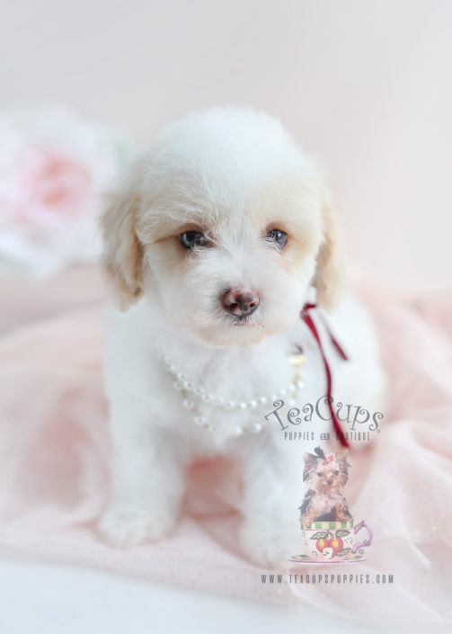 Toy Poodle Puppy #054