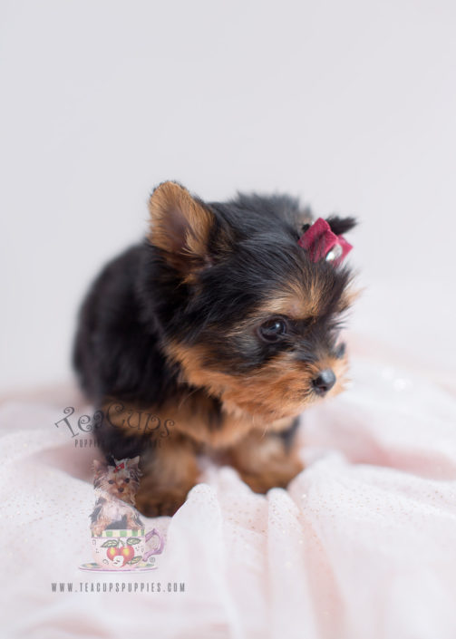 Toy Yorkie Puppy For Sale #042 Teacup Puppies