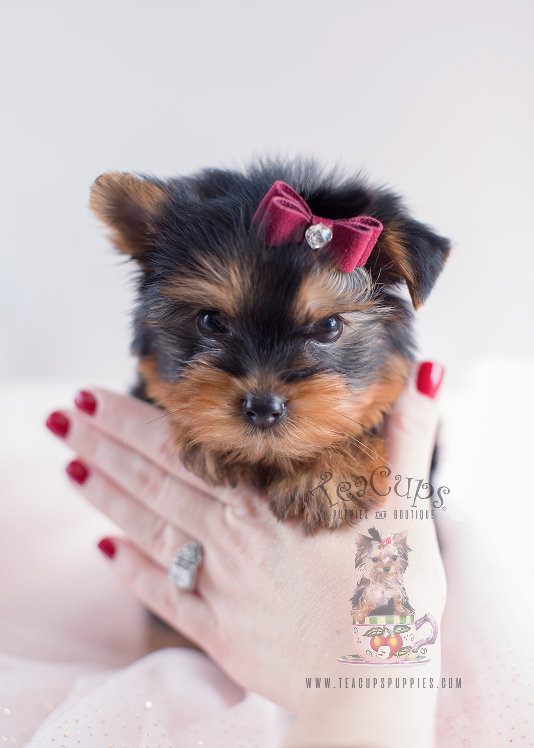 Yorkie Puppy For Sale #042 Teacup Puppies Toy