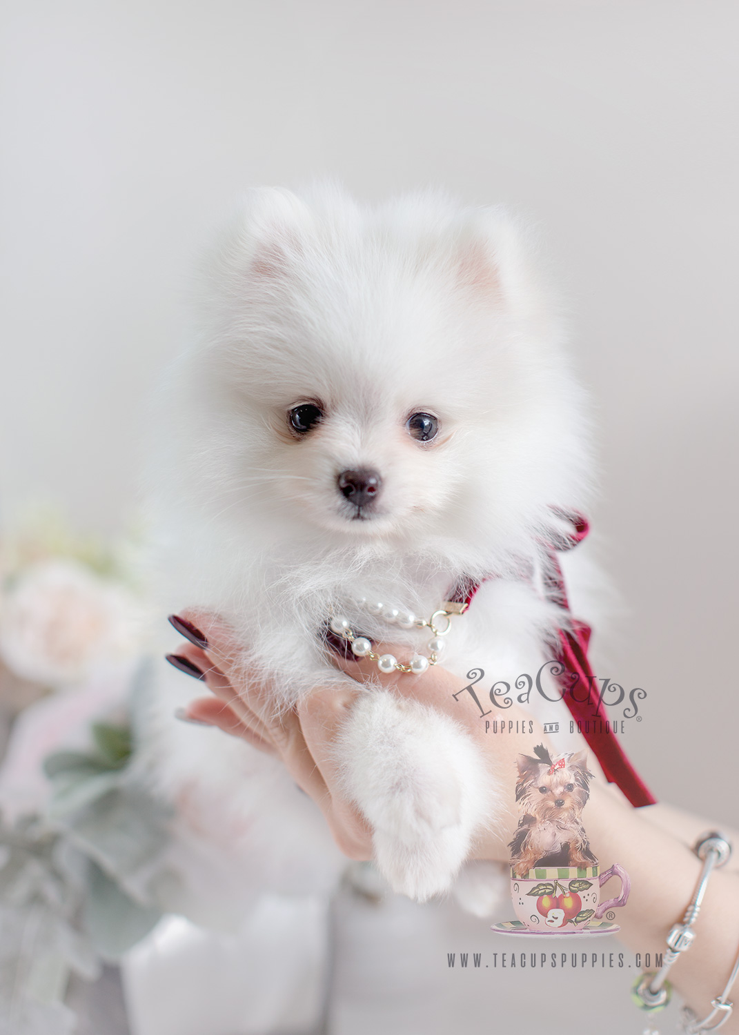 Chihuahua – Boutique Teacup Puppies