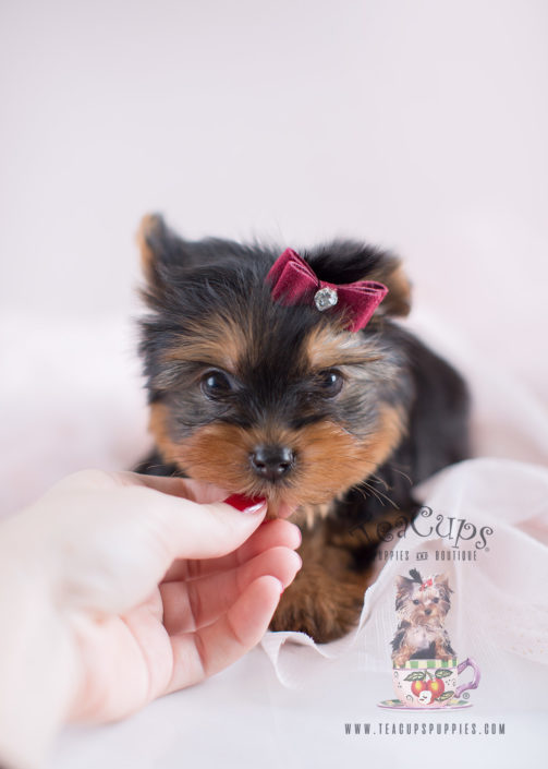 Puppy For Sale #042 Teacup Puppies Toy Yorkie