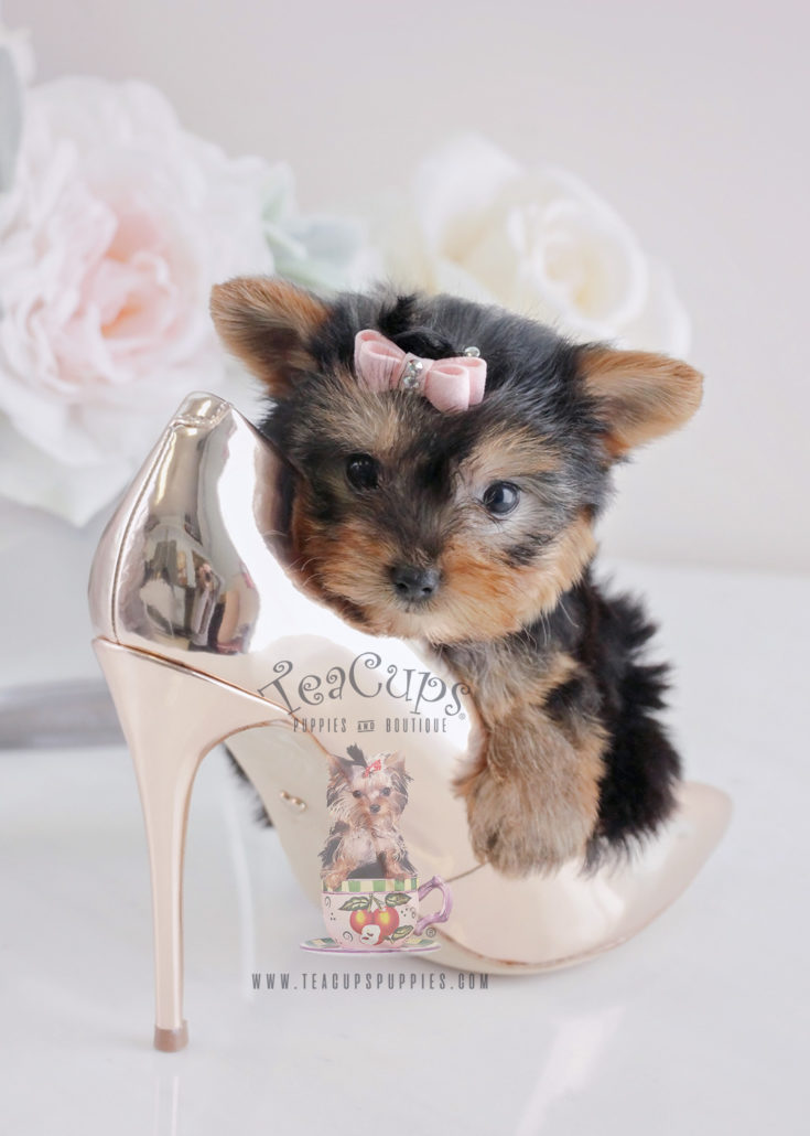 For Sale #064 Teacups Puppies Yorkie Puppy