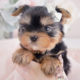 Puppy For Sale #066 Teacup Puppies Yorkie