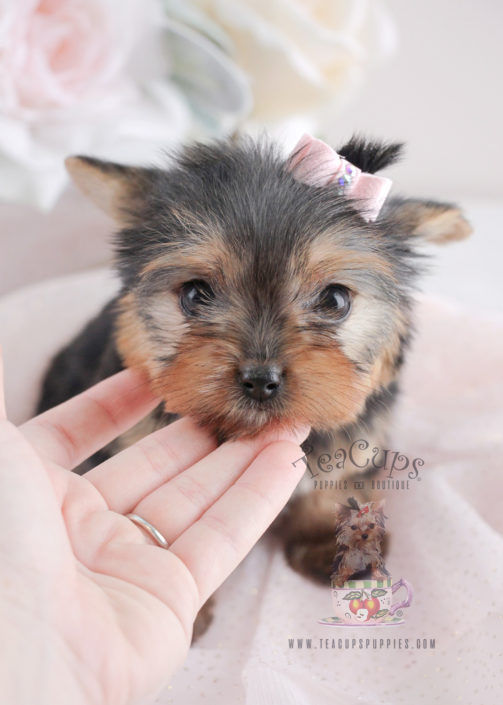 Puppy For Sale Teacup Puppies #065 Yorkie