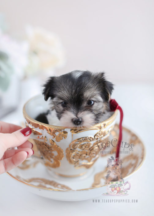 For Sale #072 Teacup Puppies Biewer Yorkie Puppy