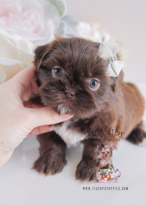 Puppy For Sale #088 South Florida Chocolate Shih Tzu