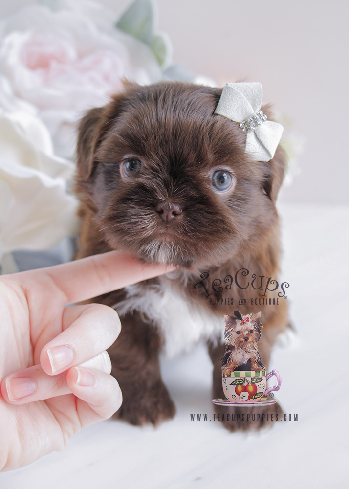 Chocolate Shih Tzu Puppy For Sale #088 South Florida