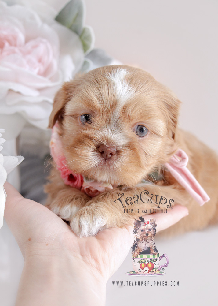Shih Tzu Puppy For Sale #085 Teacup Puppies Golden