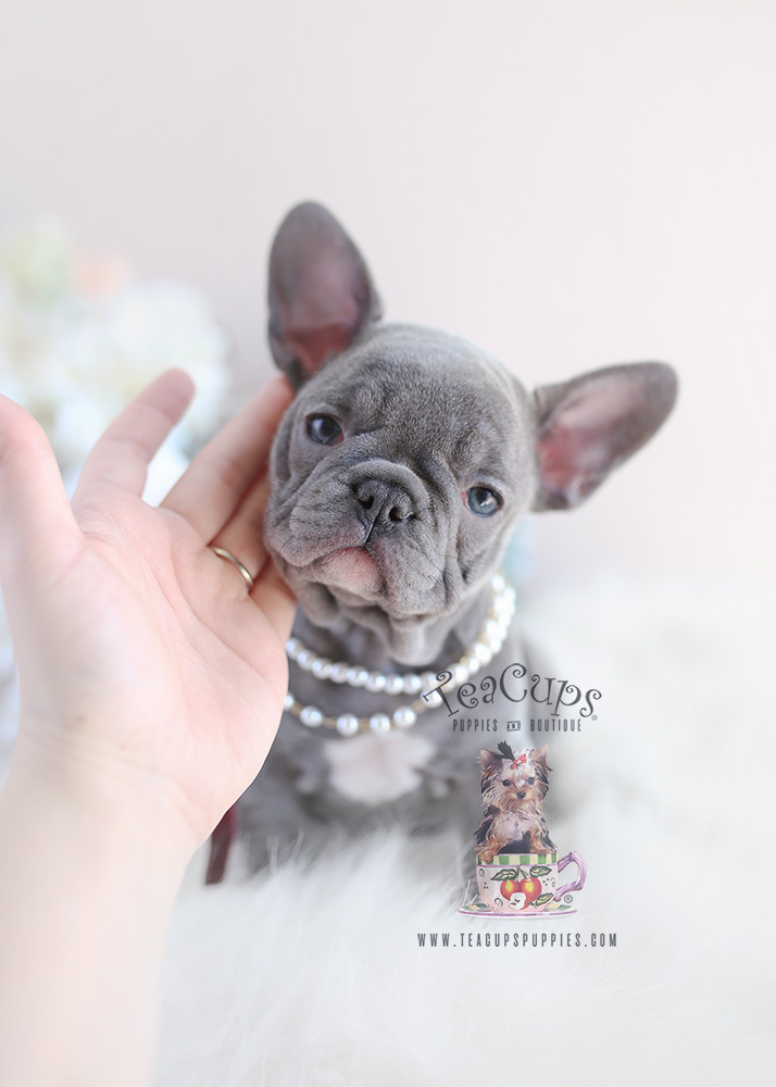 French Bulldog Puppy For Sale #096 Teacup Puppies Lilac