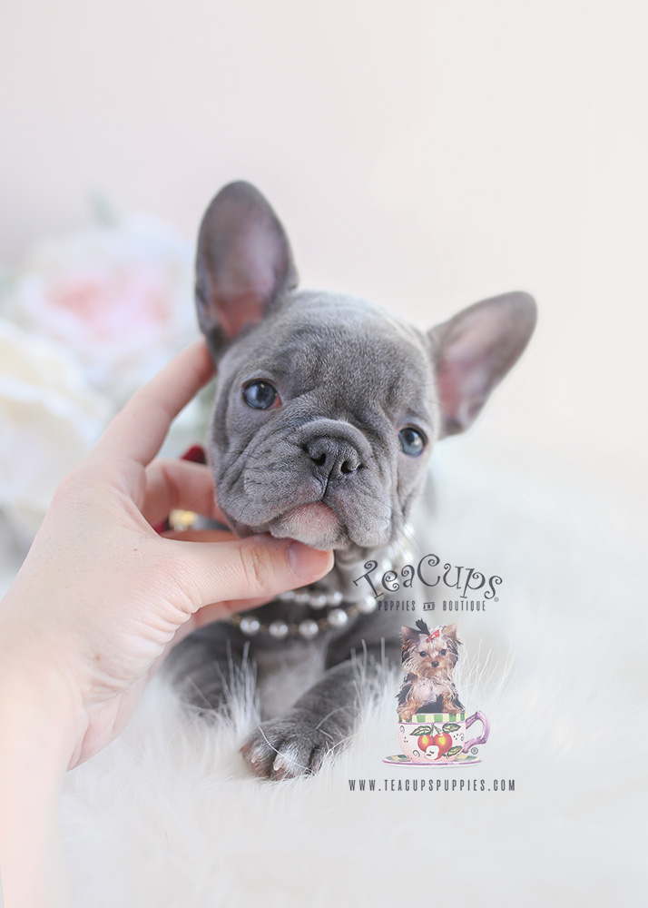 Lilac French Bulldog Puppy For Sale #096 Teacup Puppies