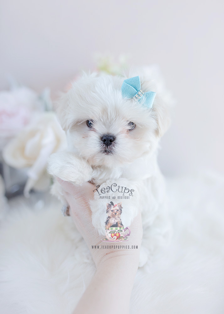 Malshi Puppy For Sale Teacups Puppies Amp Boutique