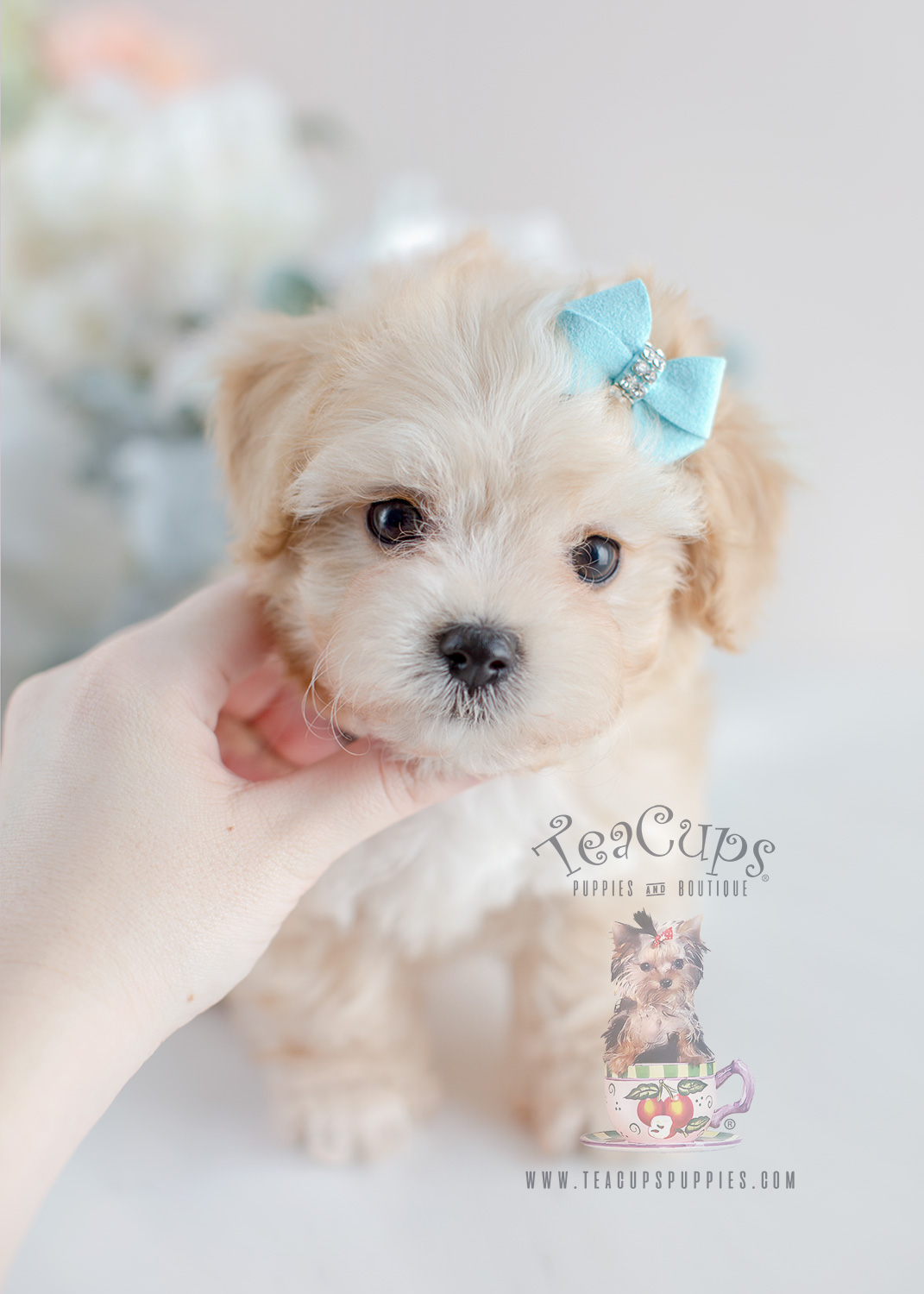 Maltese Poodle Mix In Florida Teacups Puppies Boutique
