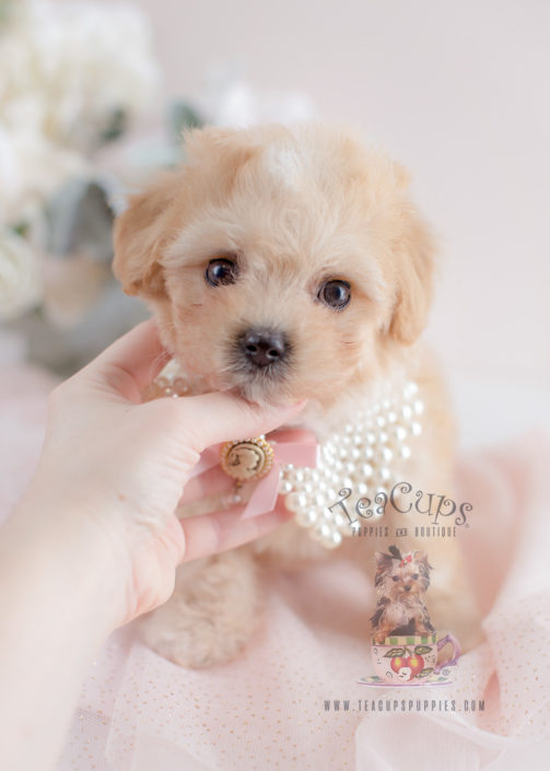 For Sale #058 Teacup Puppies Maltipoo Puppy