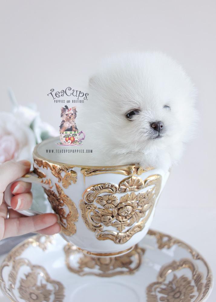 Pomeranian Puppy For Sale #092 Teacup