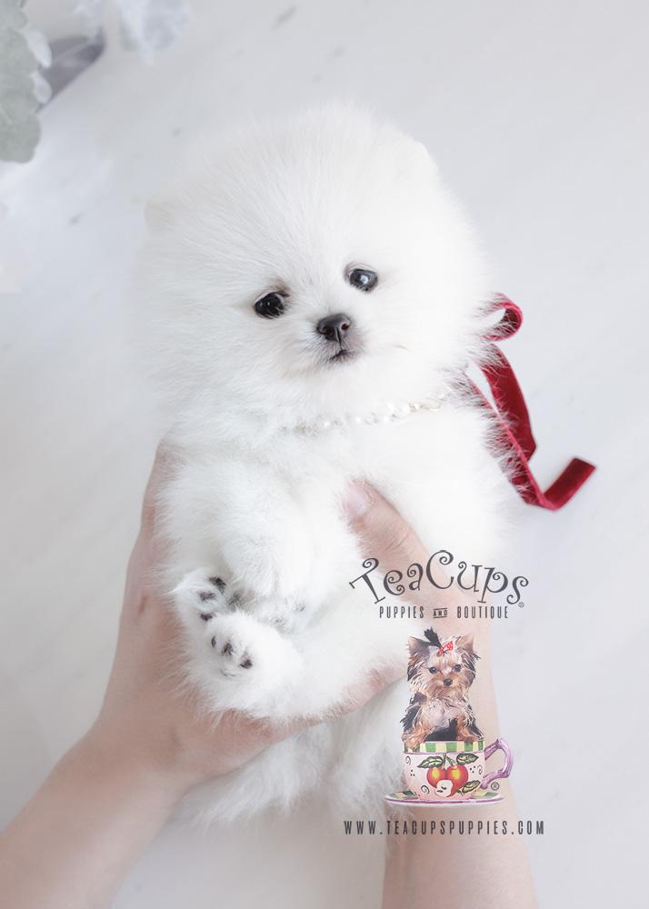 Teacup Puppies Store .com Reviews Us - Pinterest