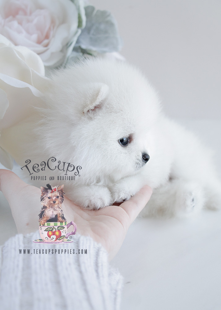 Teacup Puppies White Pomeranian Puppy For Sale #091