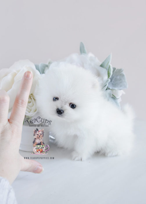 Puppy For Sale #091 Teacup Puppies White Pomeranian