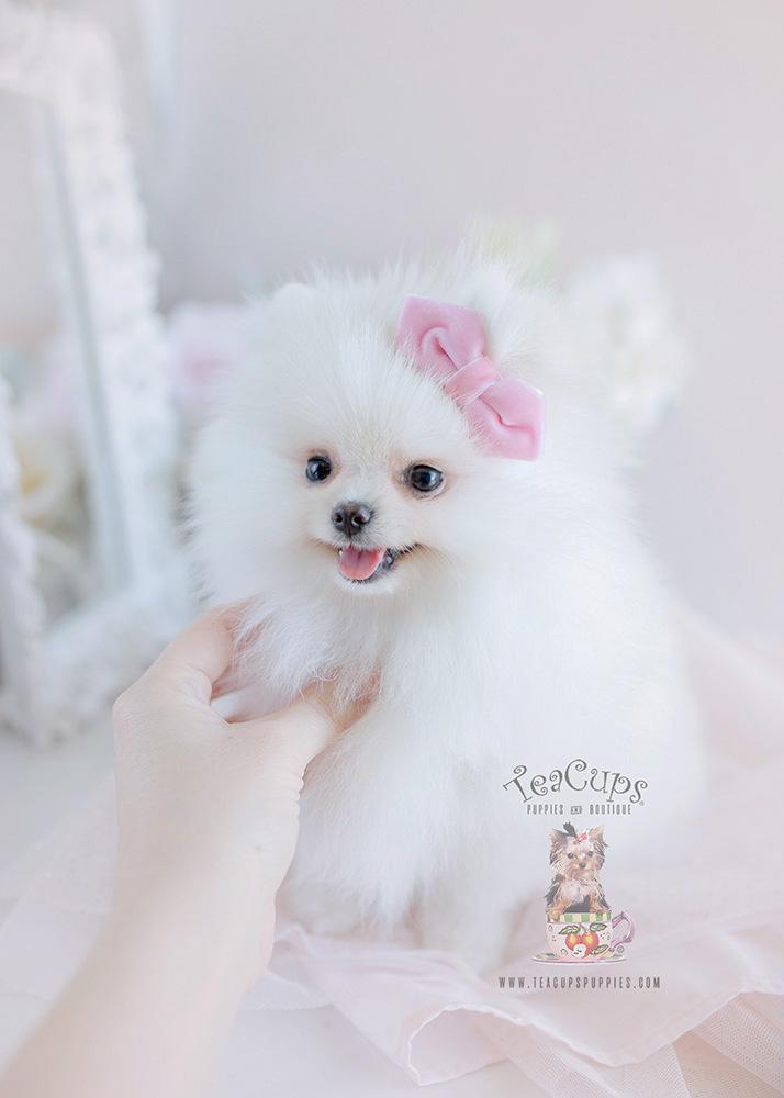 Dog Breed Teacup Pomeranian Price