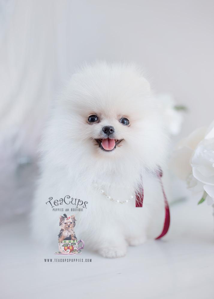 Snow White Pomeranian Puppy