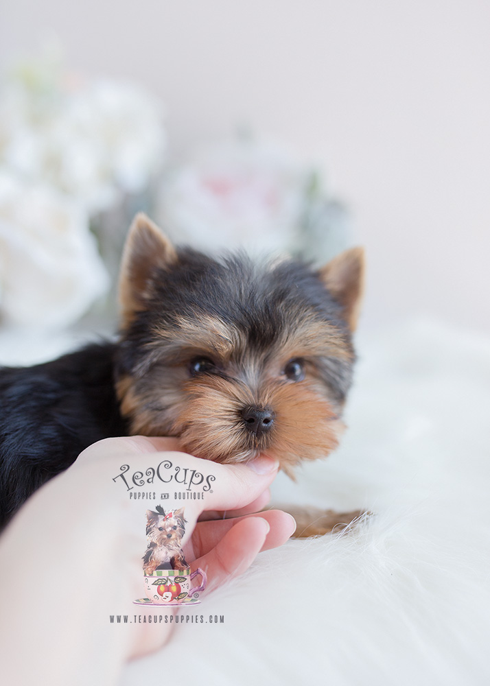 Yorkie Puppy For Sale Blue and Gold