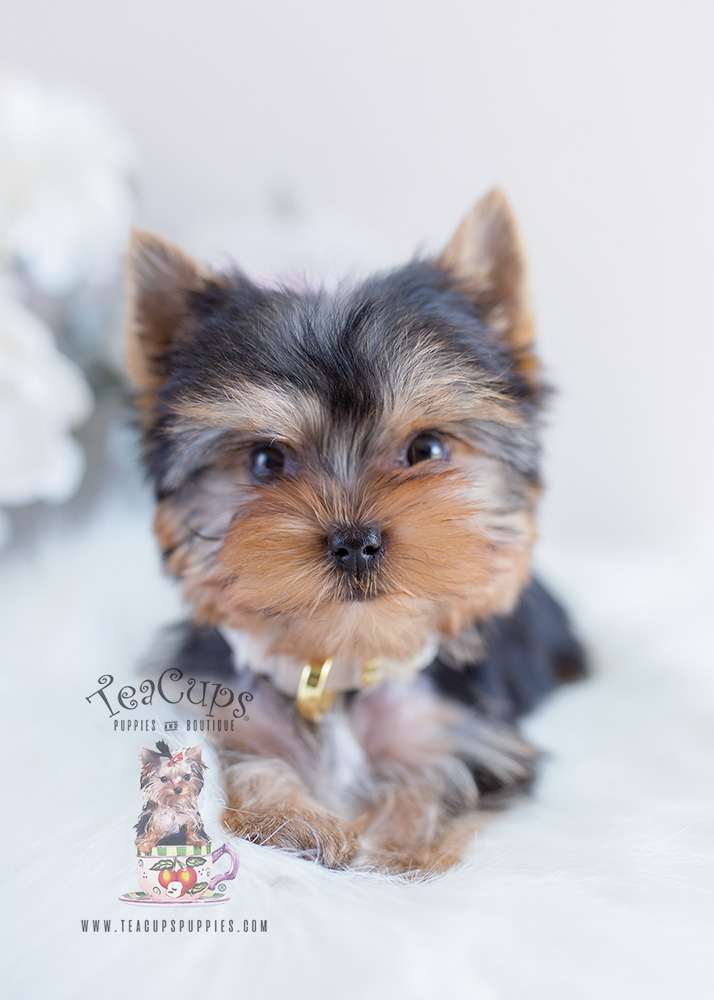Puppy For Sale #097 Teacup Puppies Yorkie