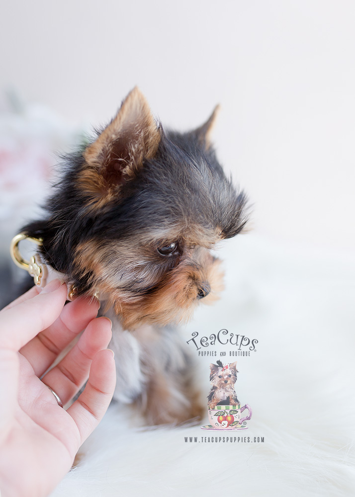 Teacup Puppies Yorkie Puppy For Sale #097
