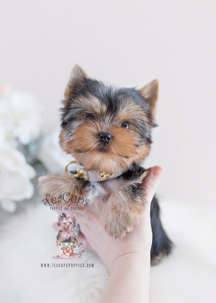 For Sale #097 Teacup Puppies Yorkie Puppy