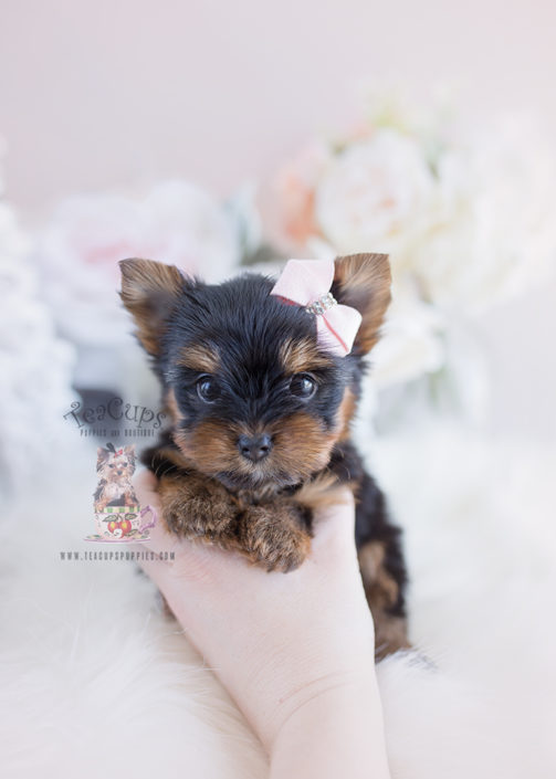 Yorkie Puppy For Sale #102 Teacup Puppies