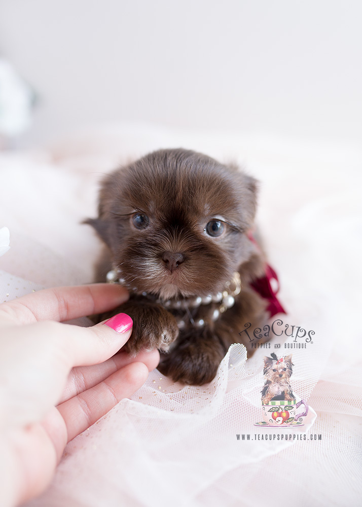 Teacup Puppies #110 Chocolate Shih Tzu Puppy For Sale