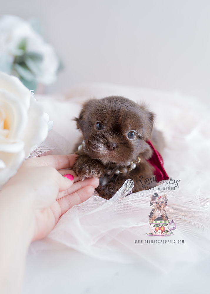 Shih Tzu Puppy For Sale Teacup Puppies #110 Chocolate