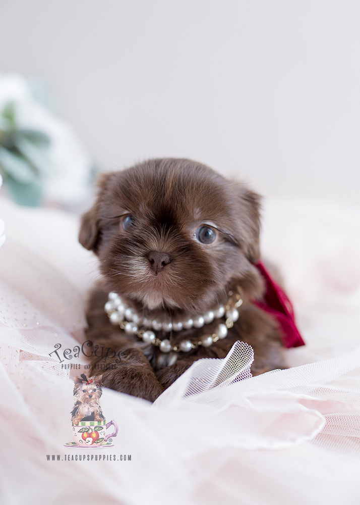 Puppy For Sale Teacup Puppies #110 Chocolate Shih Tzu
