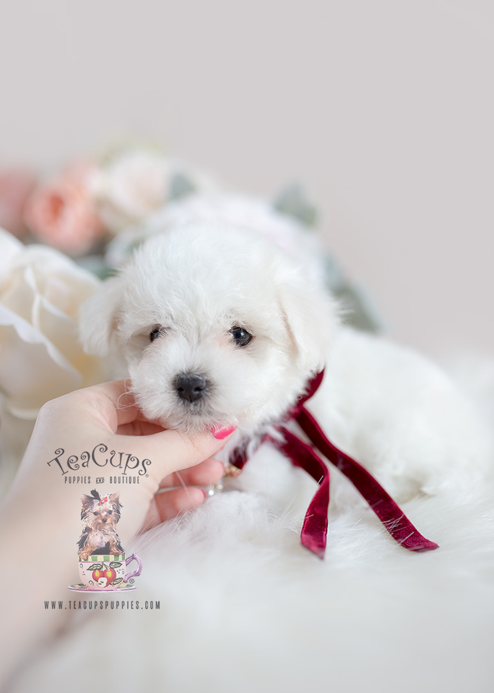 Maltipoo Puppies South Florida Teacups Puppies Amp Boutique