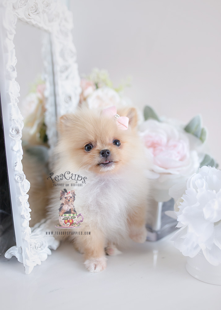 For Sale #120 Teacup Puppies Pomeranian Puppy