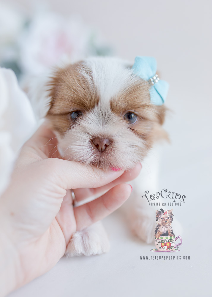 Teacup Puppies #113 Shih Tzu For Sale