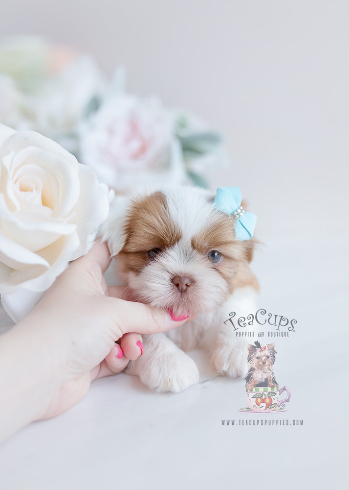 Shih Tzu For Sale Teacup Puppies #113