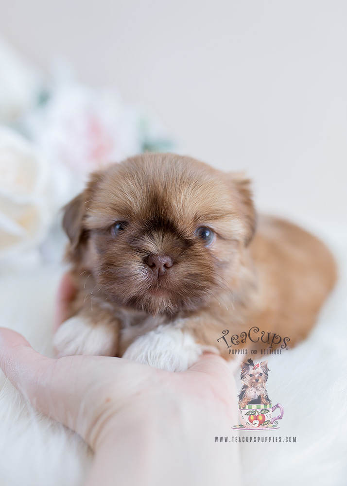 Puppy For Sale South Florida #114 Shih Tzu