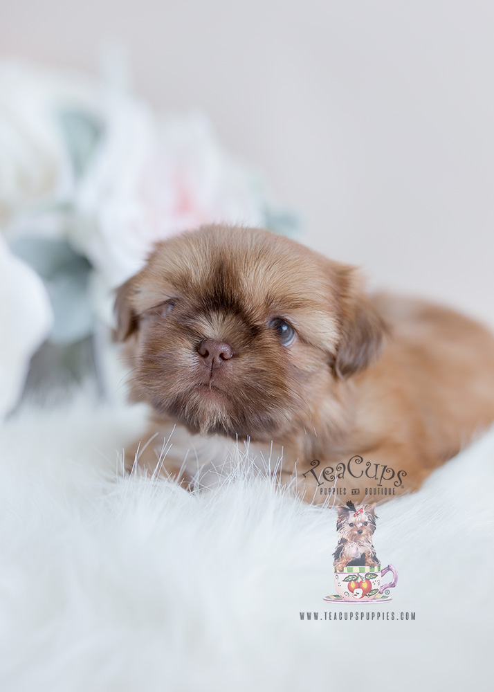 Shih Tzu Puppy For Sale South Florida #114