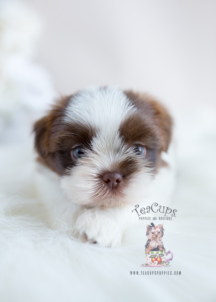 Chocolate and White Shih Tzu Puppy for Sale