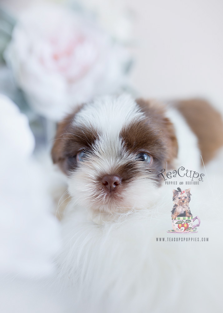 For Sale Teacup Puppies Shih Tzu Puppy