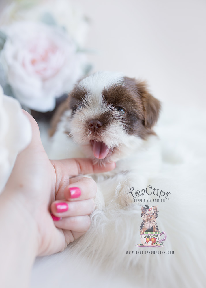 Shih Tzu Puppy For Sale Teacup Puppies