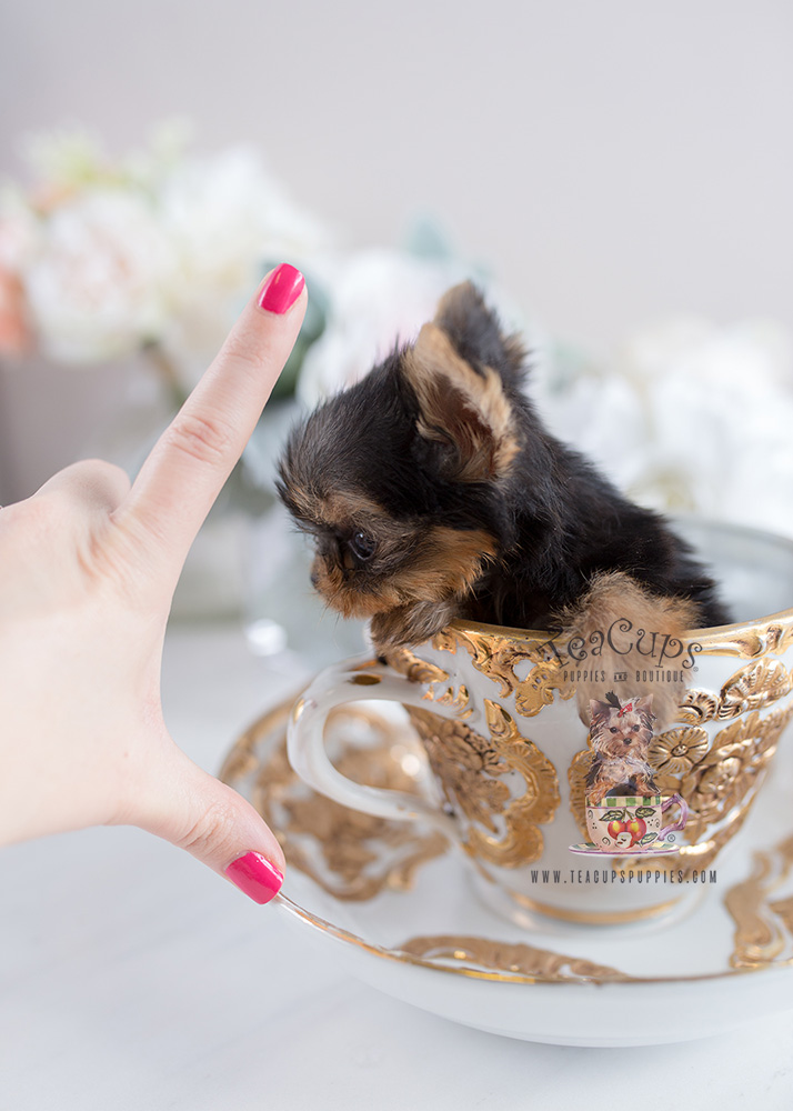 Tiny Teacup Yorkie Teacup Puppies #108 For Sale