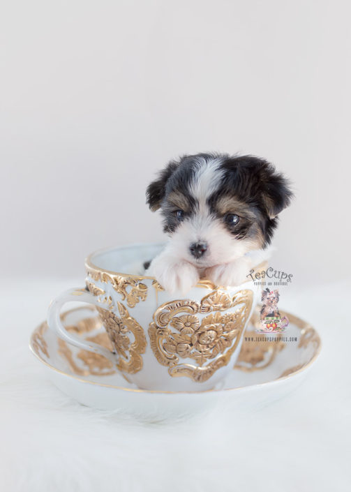 Puppy For Sale Teacup Puppies #164 Biewer Yorkie