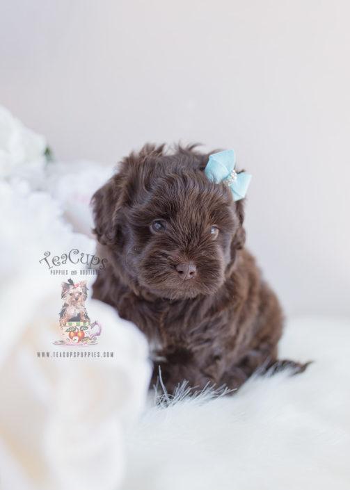 Chocolate Shih Poo Puppy