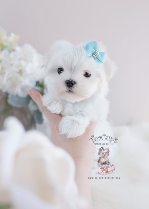 Available Maltese Puppies For Sale