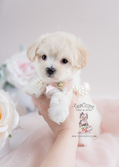Mixed Breed Puppy For Sale #134 Maltipoo