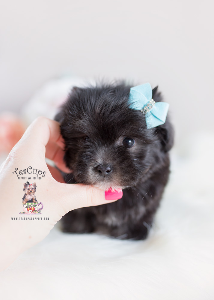 Puppy For Sale #151 Teacup Puppies Maltipoo