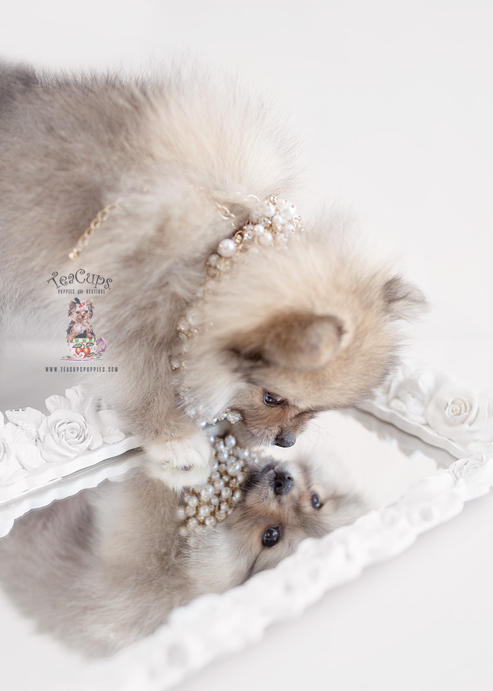 For Sale Teacup Puppies #157 Pomeranian Puppy