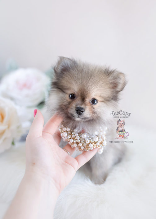 Pomeranian Puppy For Sale Teacup Puppies #157