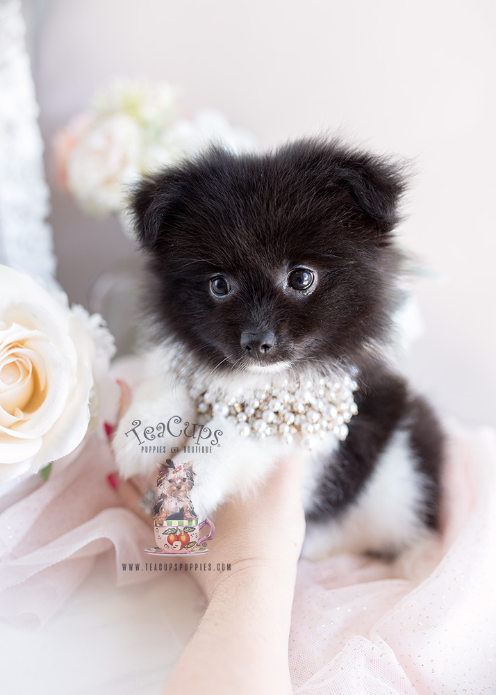 Puppy For Sale Teacup Puppies #158 Pomeranian